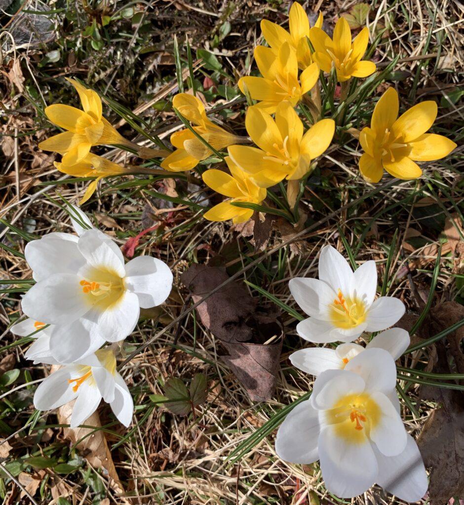 Display of crocus lawn planting, yellow and white crocus, Grow Crocus Flowers