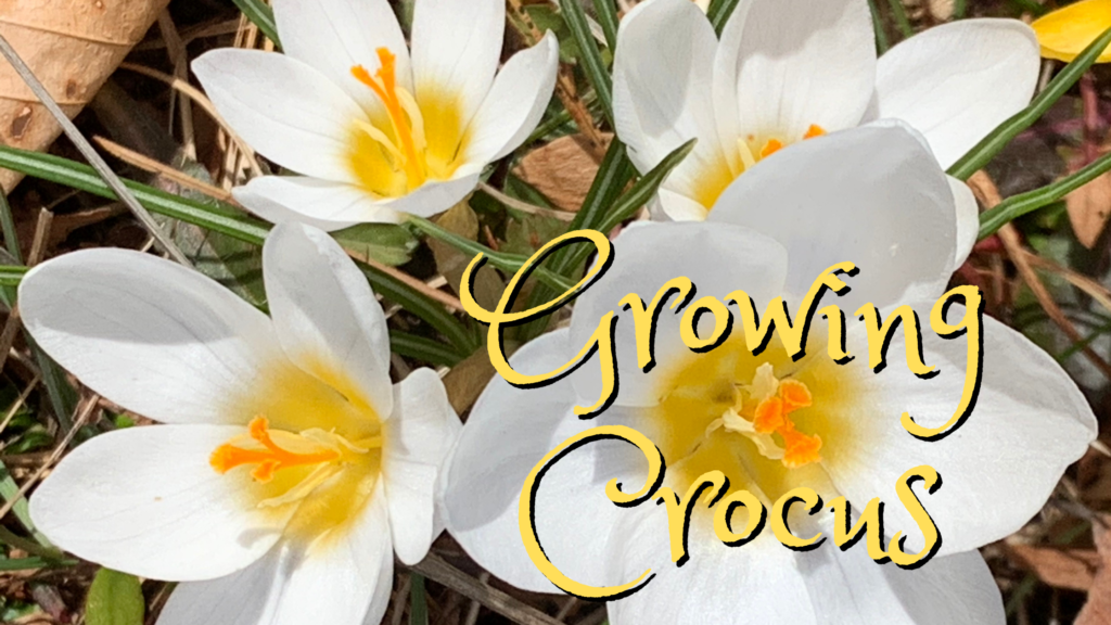 Guide For Growing Crocus Bulbs